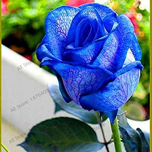 Bloom Green Co.. ! Vã©Ritable 200 pcs/Paquet Usine Rainbow Rose Holland Flower bonsaïs Rose Amant Cadeau Exotiques rares 24 Couleurs au Choix de Bricolage pour Garde à Domicile: 8