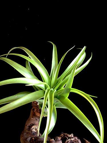 Große Regenwald Tillandsie Brachycaulos abdida Eine Pflanze ca 14 cm Durchmesser