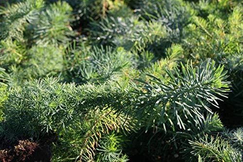 Euphorbia cyparissias - 3 Pflanzen im 0,5 lt. Vierecktopf
