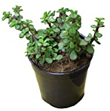 #6: Green Ivy Lucky Jade Plant (Crassula Live) Pot included