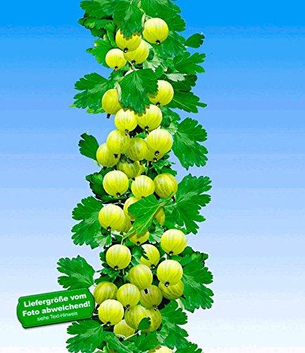 BALDUR-Garten Gelbe Säulen-Stachelbeeren, 1 Pflanze, Ribes uva-crispa Säulenobst