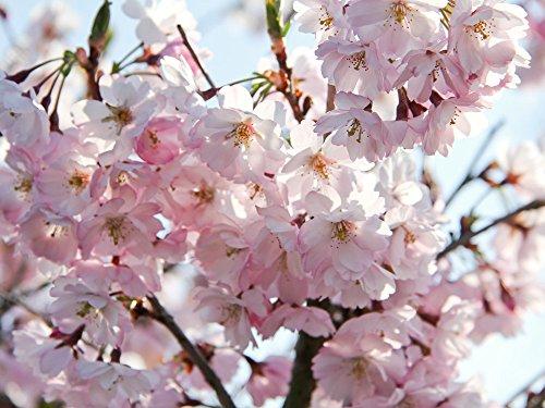 japanische Bonsai-Baumsamen f/ür DIY Hausgarten Zwergenbaum 20 Sakura Samen Brunnen Kirschbaum Weinen Samen