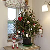 YouGarden Pot Grown Norway Spruce Living Christmas Tree