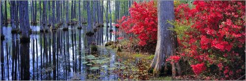 impresion-en-metacrilato-120-x-40-cm-red-azaleas-and-pond-lilies-bloom-in-the-spring-at-cypress-gard