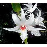 Dendrobium draconis - orquídea - 100 semillas