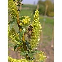 Salix triandra semperflorens Bienenweide 40-60 cm immerblühende Mandelweide