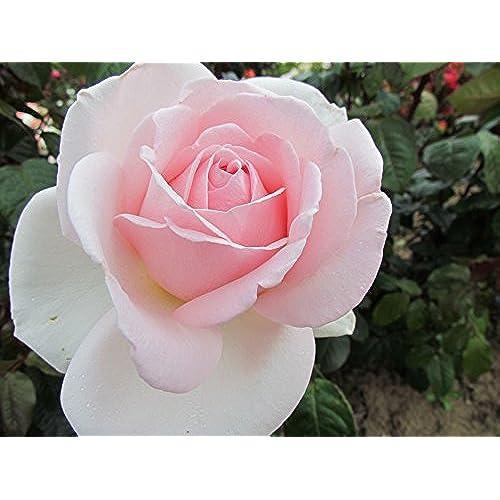 PRINCE JARDINIER   4lt Potted Hybrid Tea Garden Rose Bush   Pale Pink  Blooms   Strong Fragrance