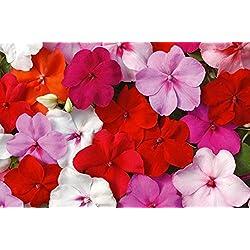 Busy Lizzie MIX - 160 Samen - Berühren Sie mich nicht - Fleißiges Lieschen - Blumen