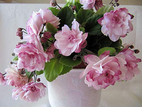 Usambaraveilchen  <strong>Botanische Bezeichnung</strong>   Saintpaulia ionantha
