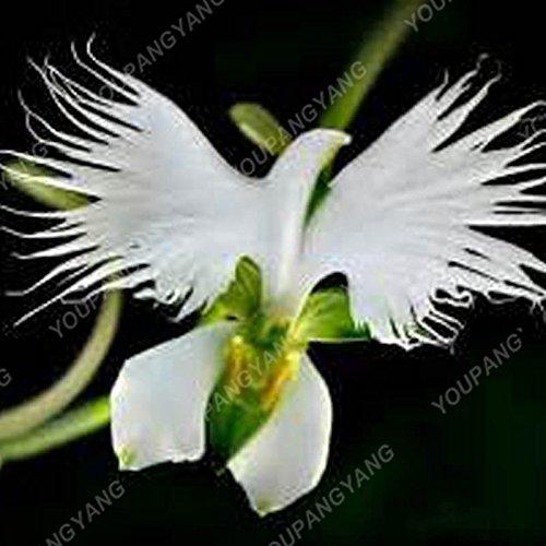 100 graines / pack japonais Radiata Seeds Aigrette Orchid Seeds espèces du monde Orchidée Rare Fleurs blanches Orchidee jardin plante rouge