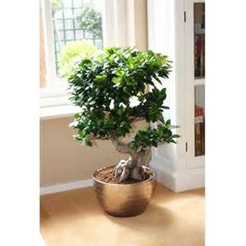 Cinesi rari Semi Ficus Microcarpa Albero, Cina