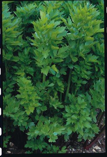 Just Seed Liebstöckel / Levisticum officinale, Kraut, 100Samen