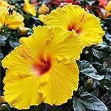 Shopmeeko SEEDS: 100 Stück Hibiskus-Blume Bonsai Riesen Hibiscus Zimmerpflanzen Blumen Für Hausgarten Leicht zu wachsen: Clear