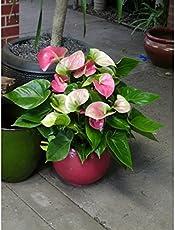 poudha.com Anthurium Light Pink Indoor Light Pink