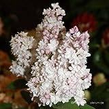 Flieder, Syringa vulgaris 'Schöne von Moskau'