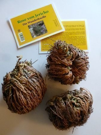 Galleria fotografica Tropica - Rose di Jericho (Selaginella lepydophylla) - 3 tuberi XL in confezione