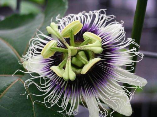 Purple Passion Fruit vigne, Passiflora edulis, Graines (rapide, comestible, Showy) 20