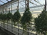 Jiaogulan Ampel, 23er Ampel, Gynostemma pentaphyllum, 3 Pflanzen pro Ampel, vegetativ vermehrt!