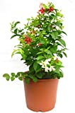 #3: Live Madhumalati Madhulata Madhabilata Honeysuckle Rangoon Creeper Flower Plant In Pot