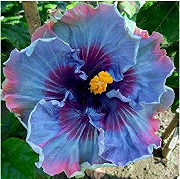 100 PC / bag Hibiskus Blumensamen blau gaint Hibiskuspflanzen Hof Bonsai Topf Blumensamen für Hausgarten