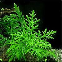PREMIER PLANTS Aquarium LIVE Plants -Water Wisteria (Hygrophila Difformis)