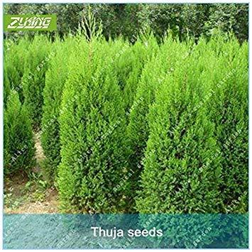 Galleria fotografica ZLKING cinese dei 50 pc Thuja Cipresso Bonsai semi freschi Natura Alto Tasso di germinazione Platycladus pianta in vaso Semi