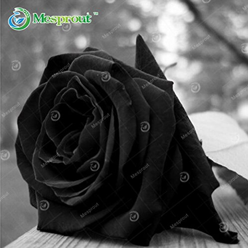 100PCS Flower Seed Holland Rose Seed Lover Gift Orange Green Rainbow RARE 24 Color To Choose DIY Home Gardening Flower 21