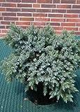 blauer Kriech Wacholder Juniperus squamata Blue Carpet 25 - 30 cm breit im 2 Liter Pflanzcontainer