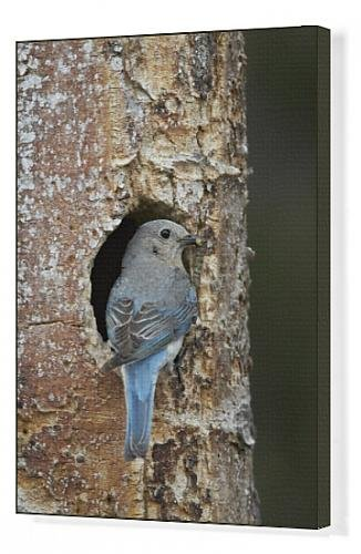 canvas-print-of-female-mountain-bluebird-sialia-currucoides-with-food-at-the-nest
