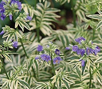 SANHOC Samen-Paket: Polemonium caeruleum 'Brise d'Anjou' 15cm Topf sizeSEED