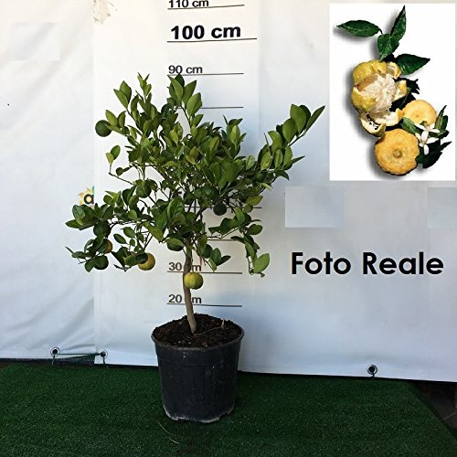 PIANTA di LIMONE MANDARINO albero di MANDARINO LIMONE in vaso 20 CM agrumi di sicilia h 100 cm AMDGarden