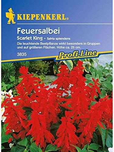 Salvia splendens Feuersalbei Scarlet King rot Scarlet Ort