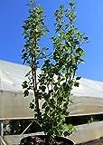 Alpen-Johannisbeere 'Schmidt' - starke Pflanze im 5 lt Topf