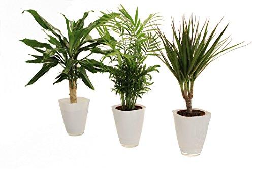 Dominik Blumen und Pflanzen, Palmen-Set, Dracena fragans, Zimmerpalme, Marginata und Dekotopf, weiß