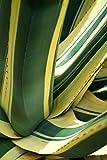Agave americana Mediopicta - weiß gestreifte Agave - verschiedene Größen (30-40cm - Topf Ø 26cm)