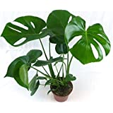 Swiss Cheese Plant (Monstera deliciosa) in 13/14cm Pot. 40-50cm Tall Approx.