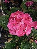 Bauernhortensie Masja 20-30 cm Strauch für Sonne-Halbschatten Hortensie rosa-rot blühend Gartenpflanze winterhart 1 Pflanze im Topf