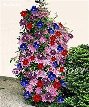 VISTARIC 8: 100 Pcs/Sac Rare Eucalyptus Arc-en-Floraison Graines, Graines Arbre Tropical, Eucalyptus Plantes pour Jardin d'ornement Bonsai 8