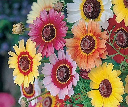 Bobby-Seeds Blumensamen Sommermargerite Rainbow Mix Portion