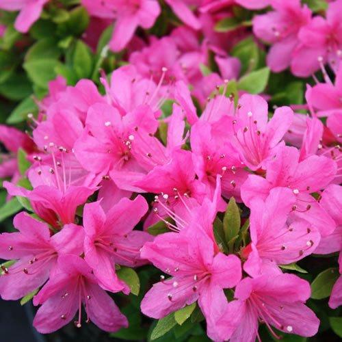 1-x-azalea-geisha-pink-japanese-evergreen-shrub-hardy-plant-in-pot