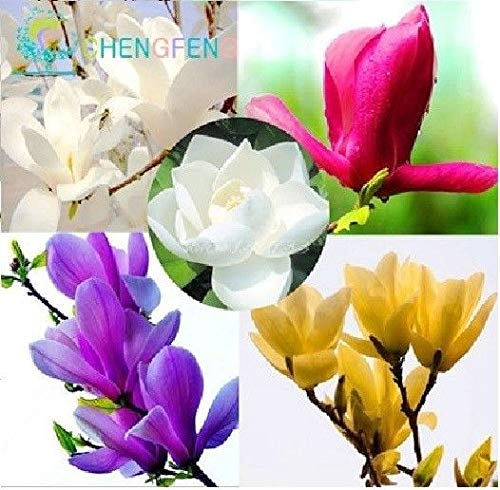 Magnolia Tree (Go Garden 2: 30 Stück Magnolia Bonsai für Garten Bonsai Bonsai DIY Orchid Tree Pflanze)
