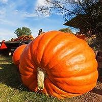 "TOMASA Seedhouse- 20 semi di zucca gigante, semi di ortaggi biologici semi di zucca di Halloween""grande raccolto"" semi di zucca hardy perenne per giardino, cortile"