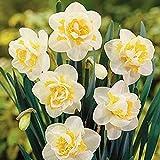 Anitra Perkins - 100Stk Selten Narzissen Samen Bunt,mehrjährig Blumensamen glocken Blumen Saatgut winterhart Blumenzwiebeln für Barkon, Garten (1)