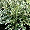 Weißrandige Segge 'Variegata' - Carex morrowii 'Variegata' im Topf von Gartengruen24 bei Du und dein Garten