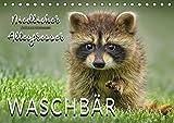 Waschbär - Niedlicher Allesfresser (Tischkalender 2019 DIN A5 quer): Eindrucksvolle Bilder der scheuen Tiere. (Monatskalender, 14 Seiten ) (CALVENDO Tiere)