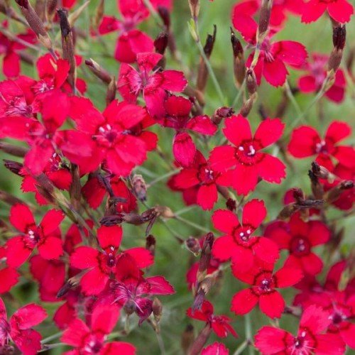 Garten-Heide-Nelke Dianthus 'Leuchtfunk'