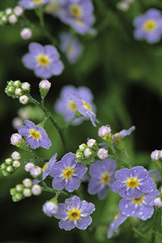 The Poster Corp Jim Barr/Design Pics - Forget-Me-Not Ak State Flower Covered In Dew Sc Ak Anchorage Garden Photo Print (27,94 x 43,18 cm)