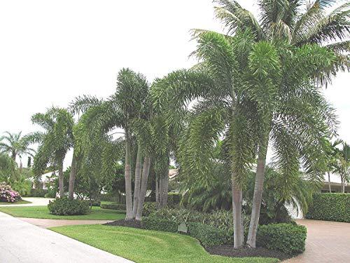 Shop Meeko Wodyetia bifurcata, The Fox Palm 10 frische Samen Sehr selten