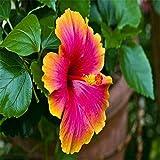 Wingbind 20 Pcs/Pack Dinnerplate Hibiscus/Graines de Fleurs vivaces pour Grandir,...