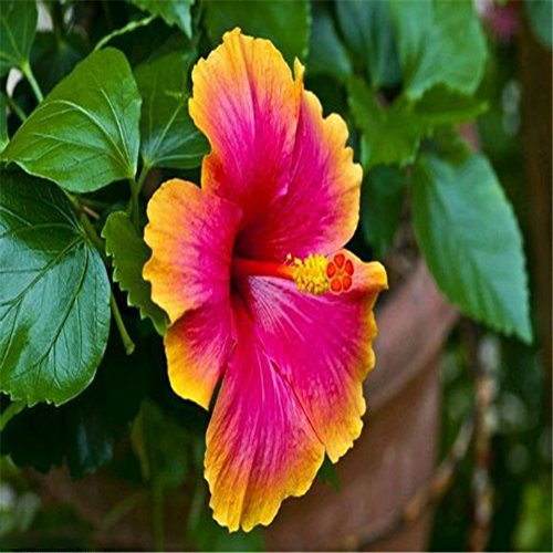 Doubleer Hibiscus Graines De Fleurs Graines De Saison De Fleurs Saisons Maison Jardin Décoration Plantes De Paysage Fleurs Herbe 20 Comprimés